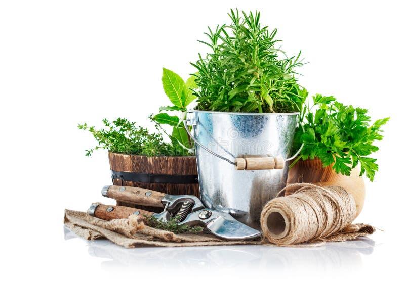 与园艺工具的新鲜的绿色草本 库存图片
