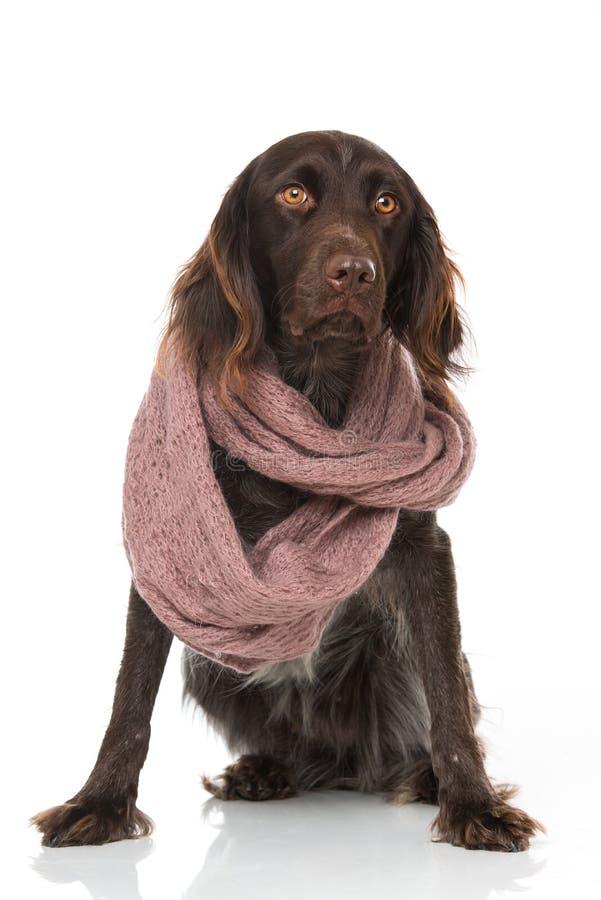 与围巾的小munsterlander狗在白色背景 库存图片