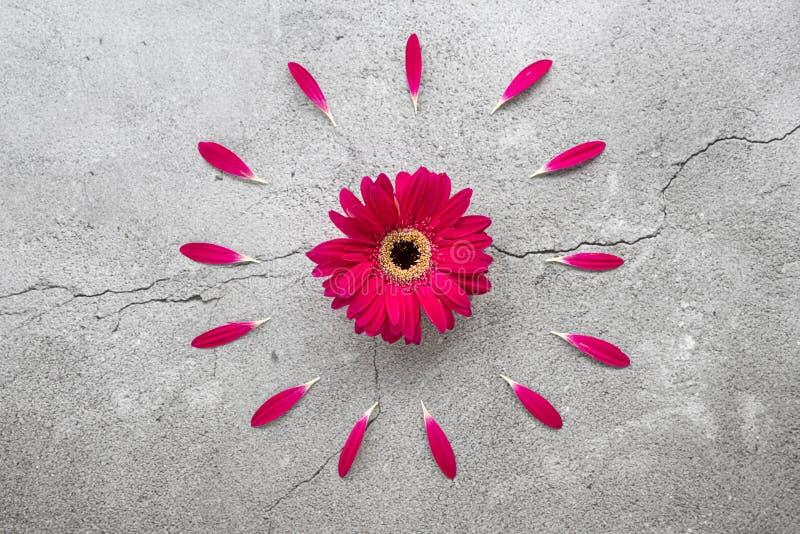 与圆红色瓣样式的一朵明亮的红色大丁草雏菊 免版税图库摄影