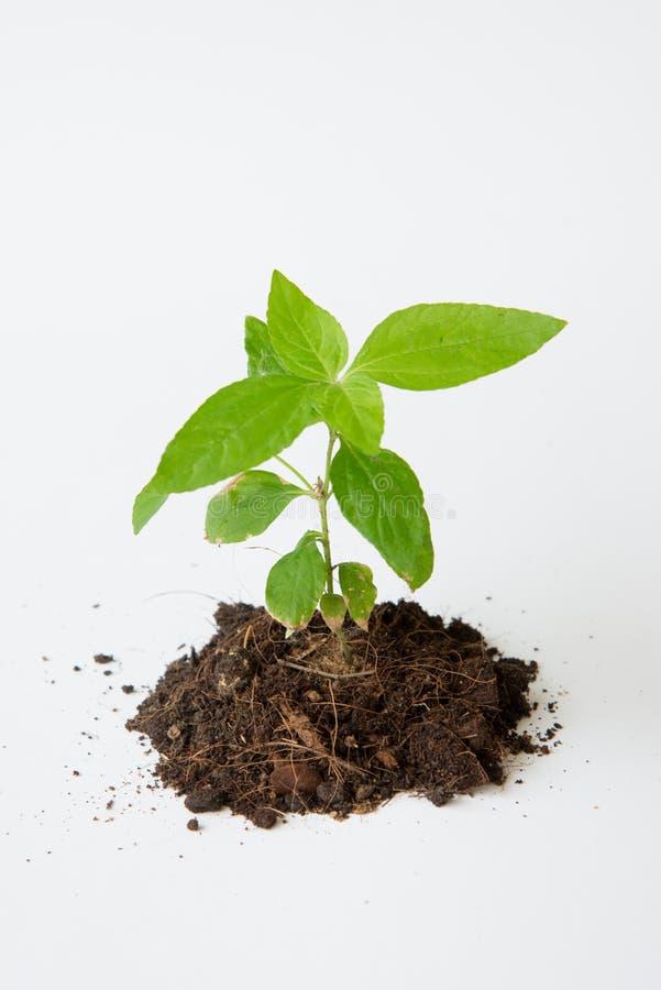 与土壤生长的一点树 免版税图库摄影