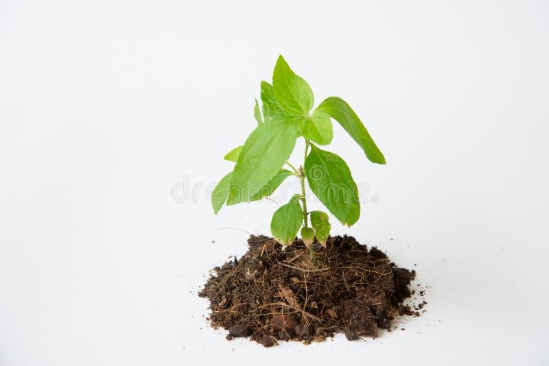 与土壤生长的一点树 免版税库存照片