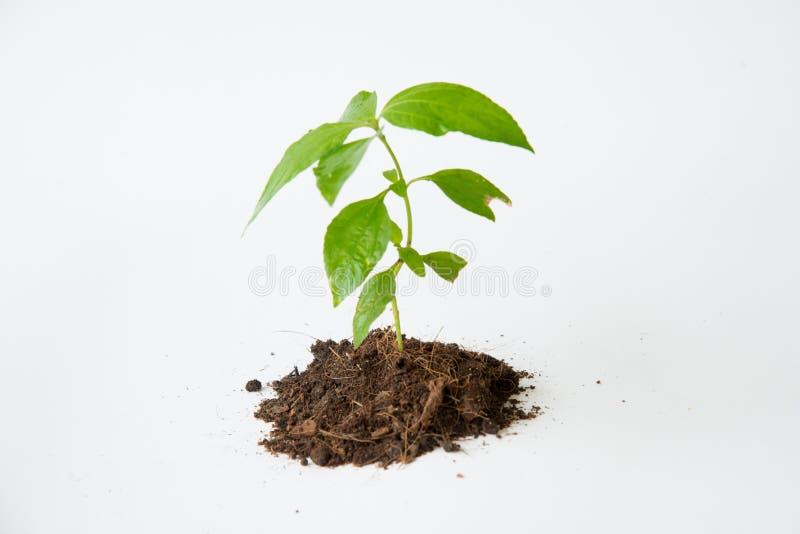 与土壤生长的一点树 免版税库存图片