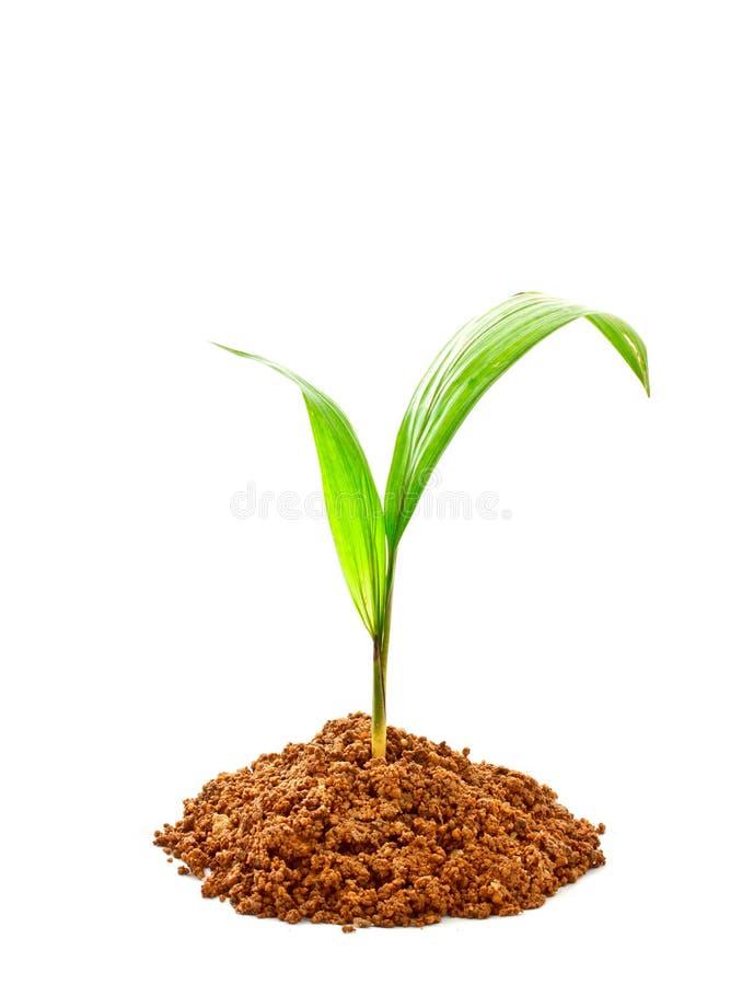 与土壤的油棕榈树新芽 图库摄影