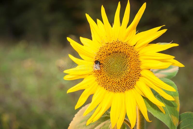 与土蜂的向日葵在头 免版税库存图片