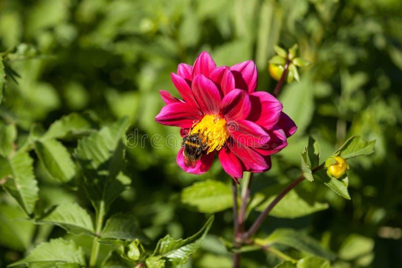 与土蜂的红色可爱的大丽花花 库存照片