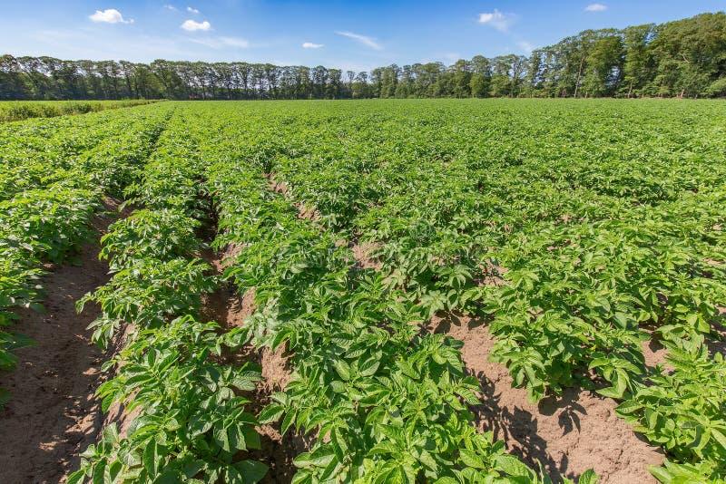 与土豆植物的风景在荷兰土豆领域 图库摄影