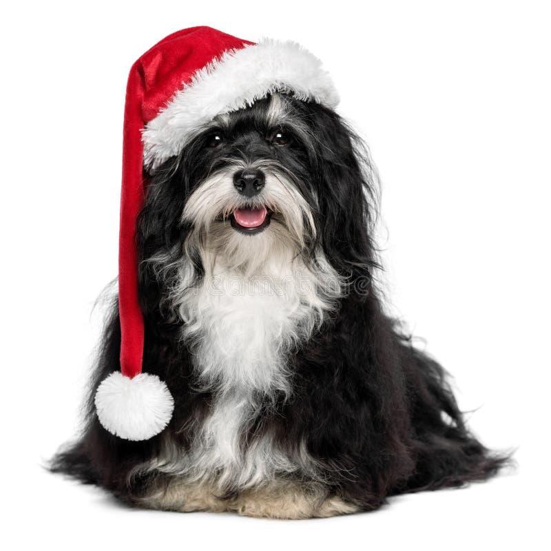 与圣诞老人帽子和白色胡须的滑稽的圣诞节Havanese狗 免版税库存照片