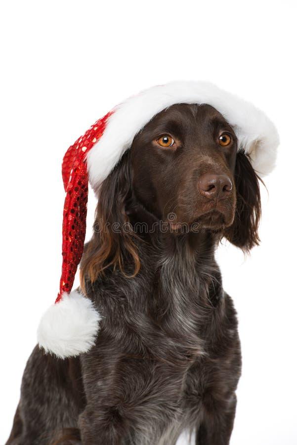 与圣诞老人帽子的小munsterlander狗在白色背景 库存图片