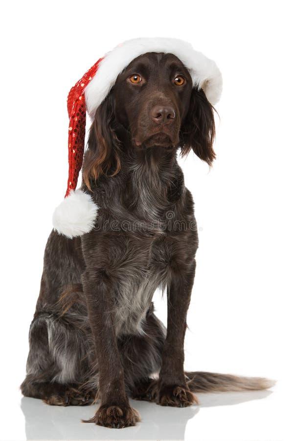 与圣诞老人帽子的小munsterlander狗在白色背景 库存照片