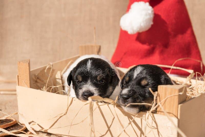 与圣诞老人项目帽子的新出生的杰克罗素puppys 库存图片