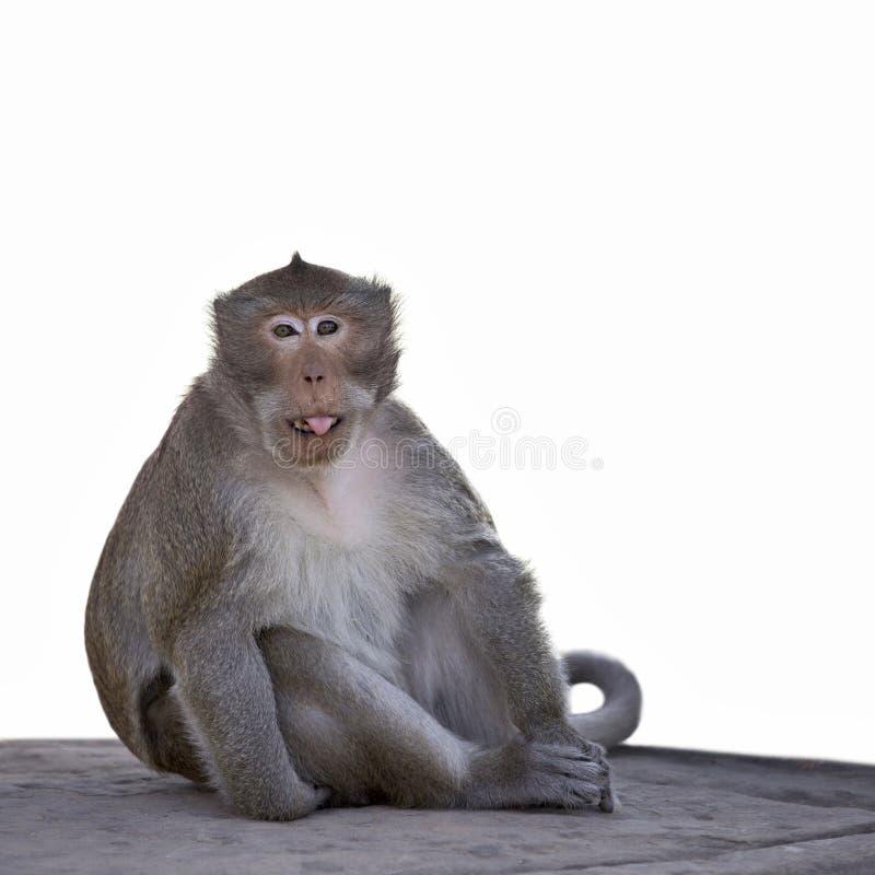 与圣诞节显示它的圣诞老人帽子的长尾的短尾猿猴子是 免版税库存照片