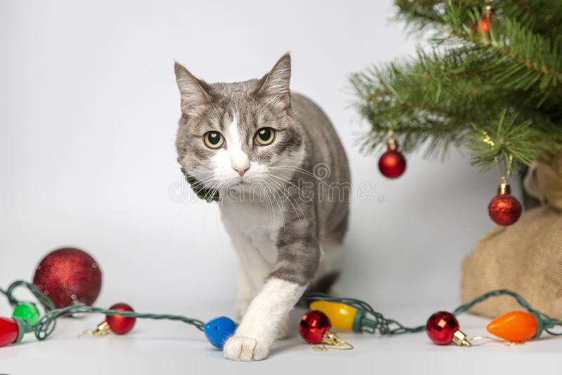 与圣诞节球的猫在演播室 免版税库存图片