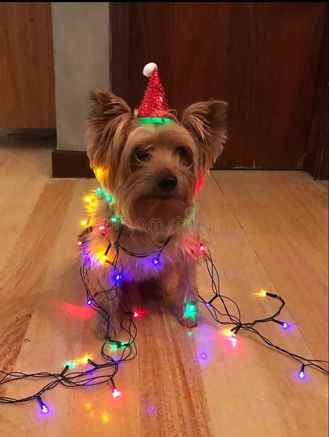 与圣诞节的小犬座 免版税库存照片