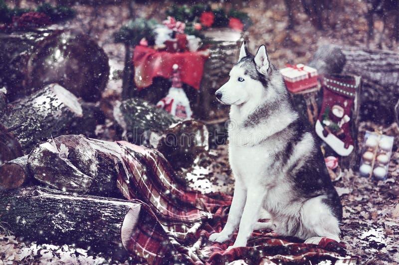 与圣诞节花圈的逗人喜爱的西伯利亚爱斯基摩人在脖子坐一条红色毯子 在backgound的圣诞节装饰 雪 免版税库存照片