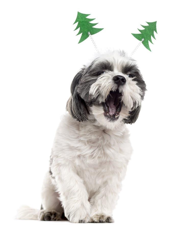 与圣诞节装饰打呵欠的Shih慈济,隔绝在白色 库存照片