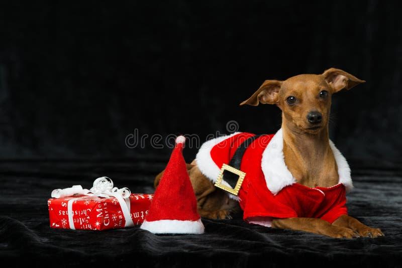 与圣诞节装饰的小犬座 免版税库存照片