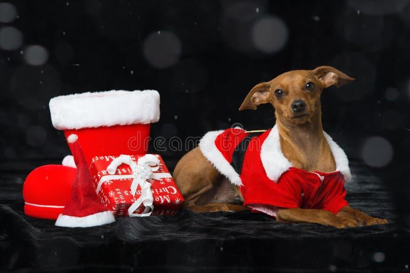 与圣诞节装饰的小犬座 图库摄影