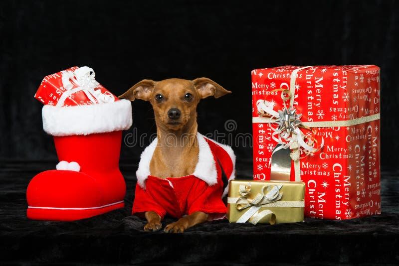 与圣诞节装饰的小犬座 免版税库存图片