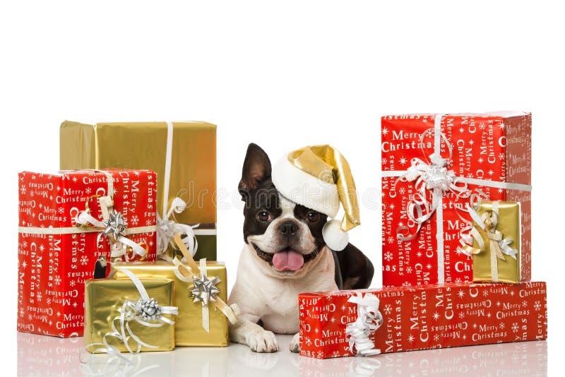 与圣诞节装饰的Frech牛头犬 库存图片