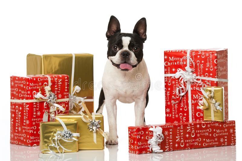 与圣诞节装饰的Frech牛头犬 库存照片
