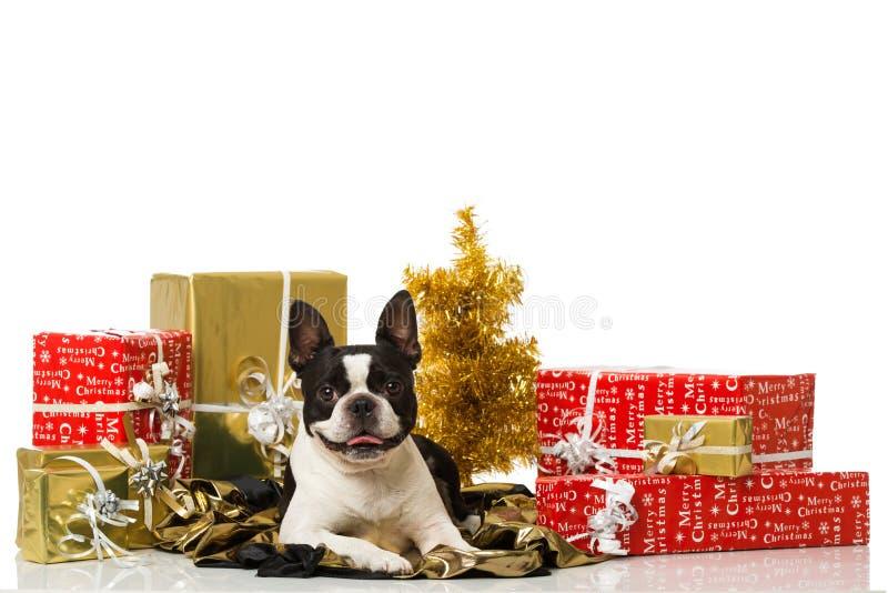 与圣诞节装饰的Frech牛头犬 免版税图库摄影