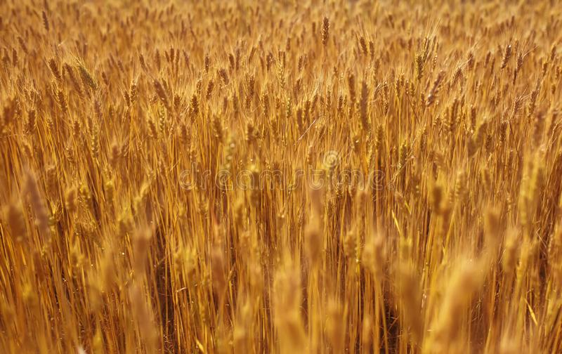 与在一温暖的夏天好日子成熟的麦子的金黄耳朵的领域的美好的自然农村风景 免版税库存照片