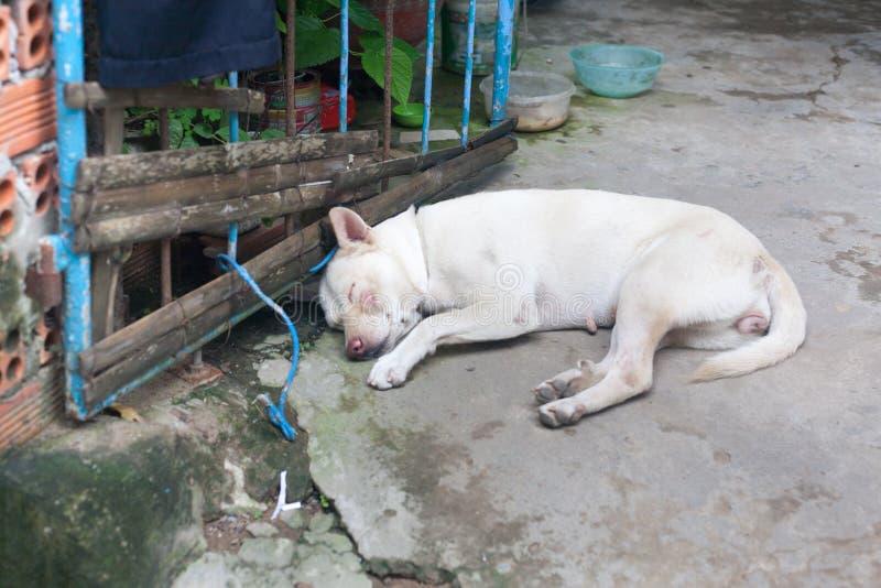 与在地面关闭放弃的伤痕的白色母流浪狗 图库摄影