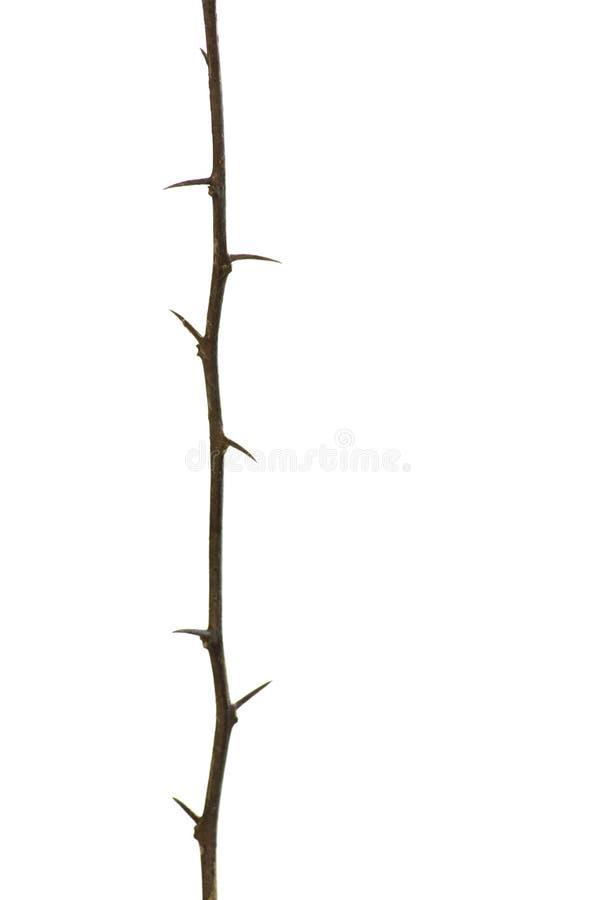与在垂直的白色背景隔绝的刺的唯一布朗枝杈树 库存照片