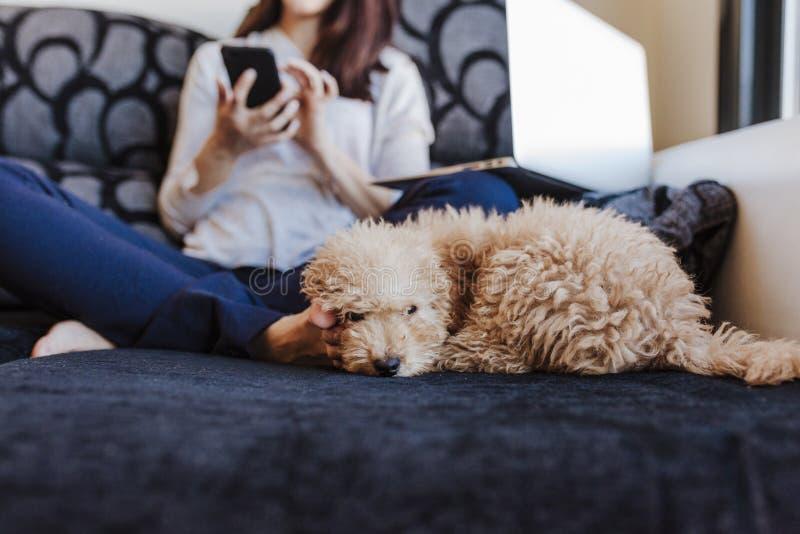 与在家她的年轻女人所有者的逗人喜爱的棕色玩具狮子狗,在沙发,白天 库存图片