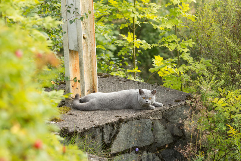 与在庭院里的蓝灰色毛皮的英国Shorthair 免版税库存照片