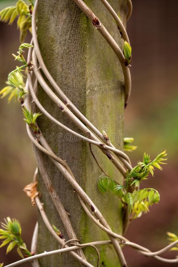 与在木杆附近被包裹的年轻叶子的紫藤树干在庭院里 库存照片