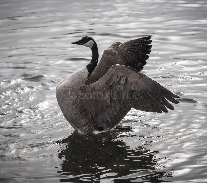 与在水中伸出的翼的加拿大鹅 免版税图库摄影