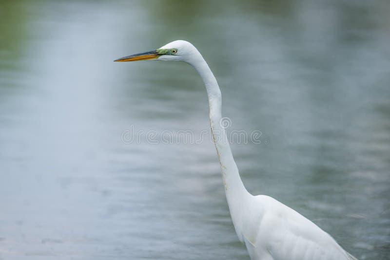 与在沼泽地-采取的美妙的细节的伟大的白鹭画象明尼苏达河 免版税图库摄影