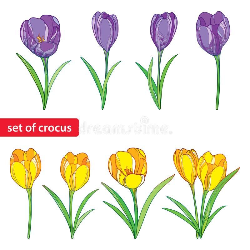 与在白色或番红花的传染媒介集合在紫色和黄色开花隔绝的概述番红花 春天设计的花卉元素 向量例证
