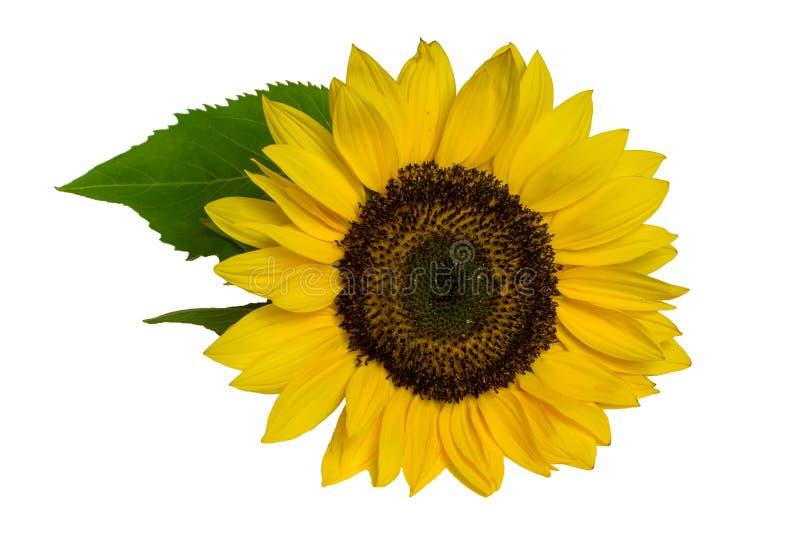 与在白色背景隔绝的叶子的向日葵 免版税库存照片