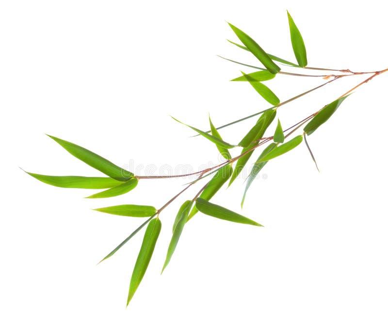 与在白色背景隔绝的叶子的新绿色竹分支 图库摄影
