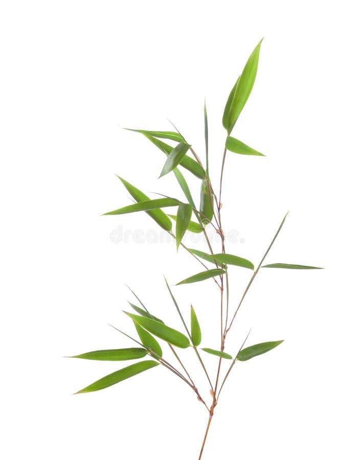 与在白色背景隔绝的叶子的绿色竹分支 免版税库存照片