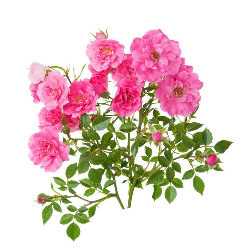 与在白色背景隔绝的小桃红色玫瑰的两个分支 免版税库存图片