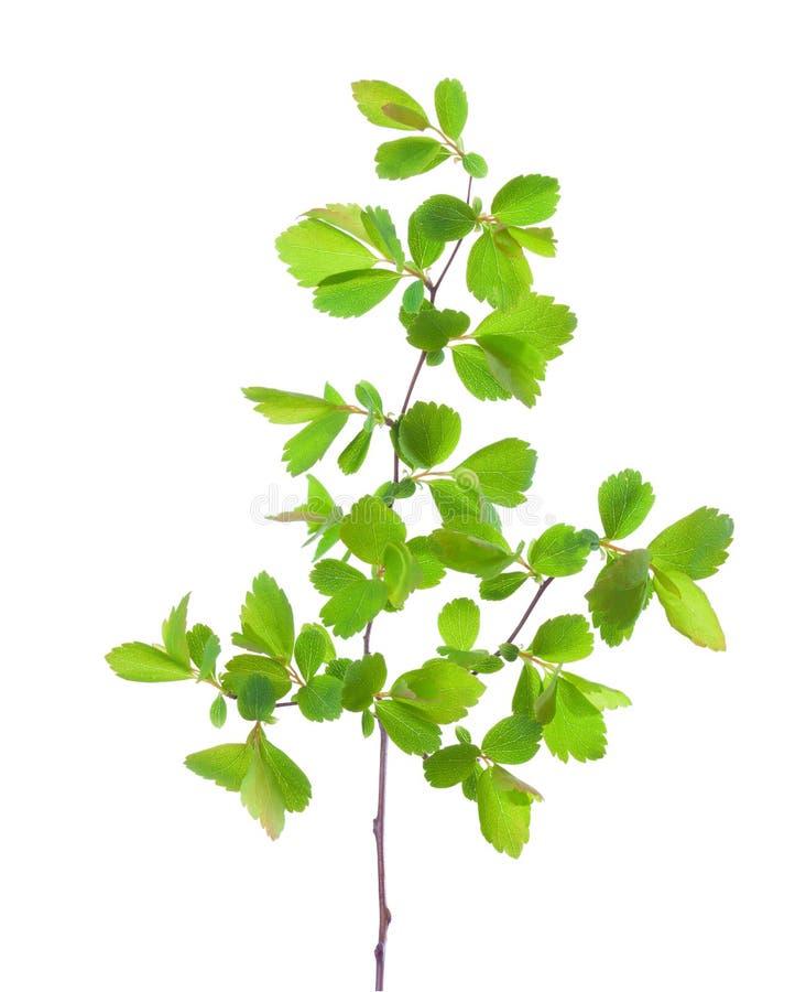与在白色背景隔绝的年轻绿色春天叶子的分支 绣线菊类的植物vanhouttei 免版税库存照片