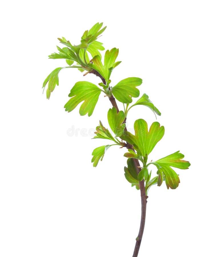 与在白色背景隔绝的年轻绿色春天叶子的分支 金黄的无核小葡萄干 免版税库存图片