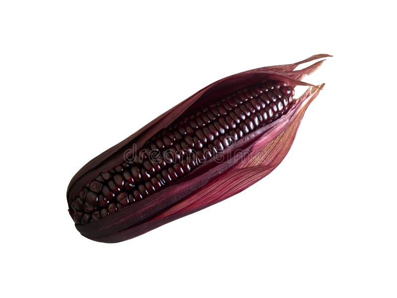 与在白色背景隔绝的果皮的紫色甜玉米 免版税库存图片