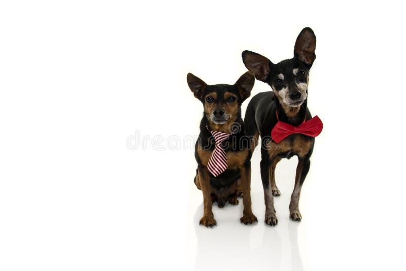 与在白色背景隔绝的红色蝶形领结的两条短毛猎犬狗 免版税库存照片