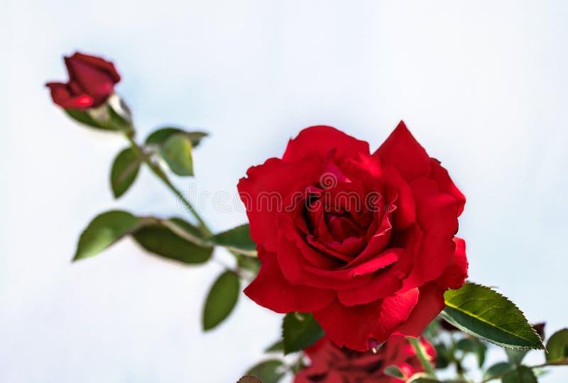 与在白色背景隔绝的绿色叶子的红色玫瑰 免版税图库摄影