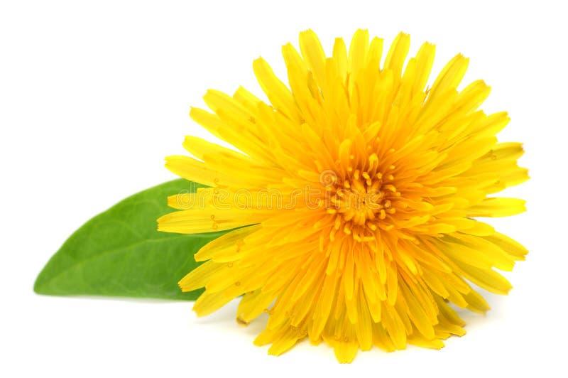 与在白色背景隔绝的绿色叶子的黄色花 库存图片