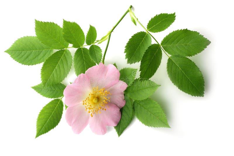与在白色背景隔绝的绿色叶子的Dogrose花 免版税库存图片