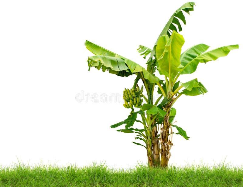 与在白色背景隔绝的新鲜的绿草的香蕉树 免版税图库摄影