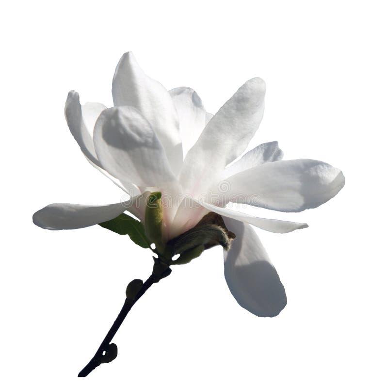 与在白色背景隔绝的白花的木兰brach 向量例证