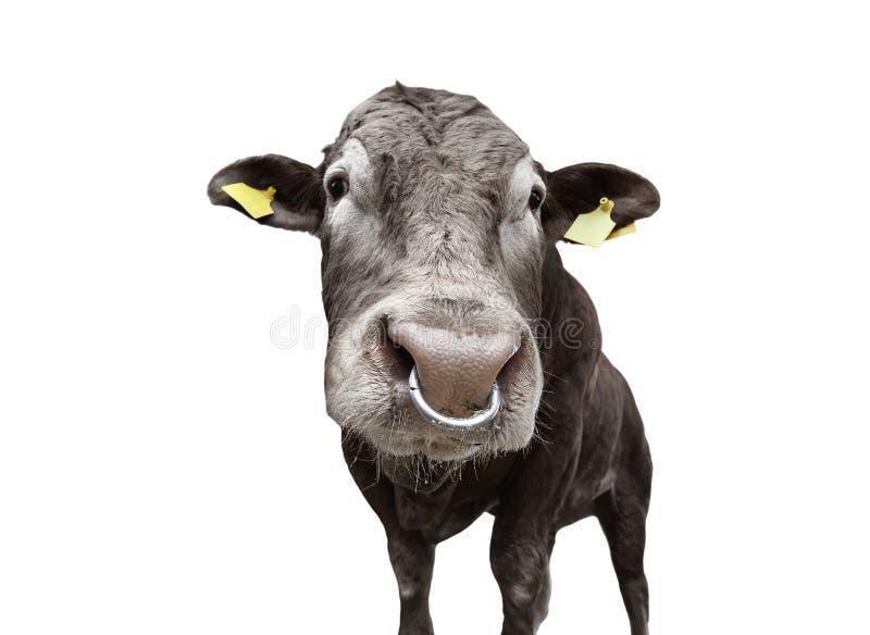 与在白色隔绝的动物之鼻圈的公牛 全长美丽的大棕色的公牛 公牛关闭 ?? 被隔绝的肉用牛  库存照片