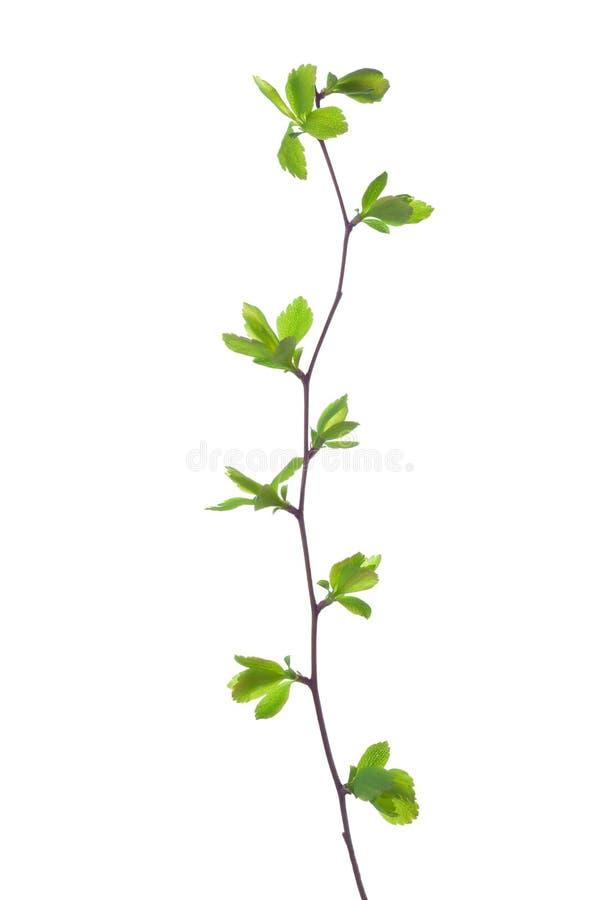与在白色隔绝的年轻绿色春天叶子的分支 绣线菊类的植物vanhouttei 图库摄影