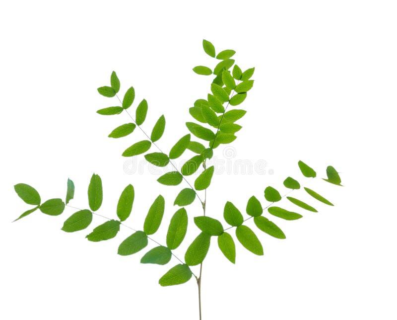 与在白色隔绝的绿色叶子的金合欢分支 免版税库存照片